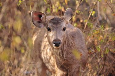 Sambar deer portrait portrait,deer,mammal,mammals,mammalia,Artiodactyla,cervids,cervidae,vertebrate,close-up,cute,Cervidae,Deer,Chordates,Chordata,Even-toed Ungulates,Mammalia,Mammals,Coniferous,Terrestrial,Rusa,Rainfores