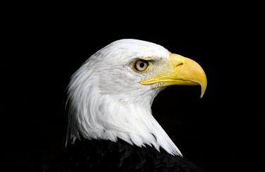 Bald eagle portrait potrait,head detail,birds of prey,bird of prey,profile,head,face,birds,aves,raptor,bill,beak,Accipitridae,Hawks, Eagles, Kites, Harriers,Chordates,Chordata,Ciconiiformes,Herons Ibises Storks and Vultu