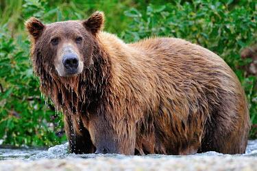 Brown bear stood in river water,bathing,hunting,bears,ursidae,carnivora,carnivore,wet,close-up,Carnivores,Carnivora,Bears,Ursidae,Chordates,Chordata,Mammalia,Mammals,Africa,Semi-desert,Europe,Broadleaved,North America,Tundra,U