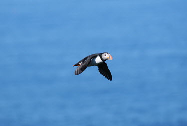 Atlantic puffin in flight, side view flight,flying,birds,aves,vertebrates,action,wings,Charadriiformes,Alcidae,Ciconiiformes,Herons Ibises Storks and Vultures,Auks, Murres, Puffins,Aves,Birds,Chordates,Chordata,Flying,Carnivorous,Animali