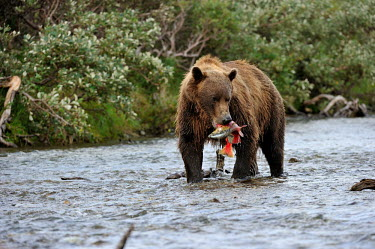 Brown bear with salmon catch in mouth predator,feeding,food,prey,hunting,bears,eating,predation,carnivora,carnivore,Ursus,fish,behaviour,mammals,Carnivores,Carnivora,Bears,Ursidae,Chordates,Chordata,Mammalia,Mammals,Africa,Semi-desert,Eur