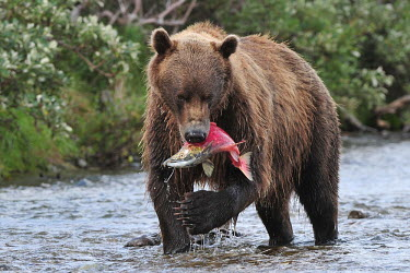 Brown bear carrying salmon prey in mouth predator,feeding,food,prey,hunting,bears,eating,predation,carnivora,carnivore,Ursus,fish,behaviour,mammals,Carnivores,Carnivora,Bears,Ursidae,Chordates,Chordata,Mammalia,Mammals,Africa,Semi-desert,Eur