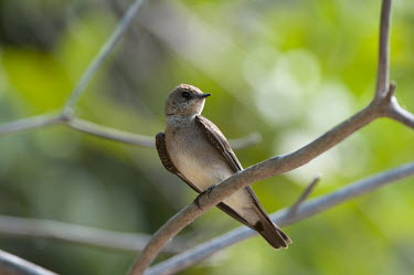 Brown-chested martin perched on branch Least Concern,Aves,birds,perching,perched,passerines,passeriformes,songbirds,songbird,vertebrate
