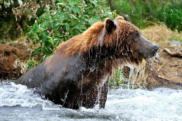 Brown bear in river water,bathing,hunting,bears,ursidae,carnivora,carnivore,wet,close-up,Carnivores,Carnivora,Bears,Ursidae,Chordates,Chordata,Mammalia,Mammals,Africa,Semi-desert,Europe,Broadleaved,North America,Tundra,U