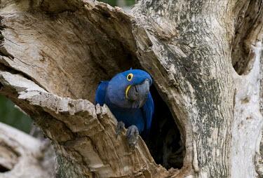 Hyacinth macaw in tree hole parrot,parrots,aves,birds,blue,colourful,nests,nest,vertebrates,tropical,Endangered,Animalia,Psittaciformes,hyacinthinus,Appendix II,Psittacidae,Savannah,Wetlands,Herbivorous,Scrub,Chordata,South Amer