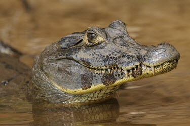Yacare caiman portrait portrait,Amazon,reptiles,reptile,crocodilian,crocodylia,alligatoridae,wildlife,mouth,face,teeth,water,eyes,vertebrate,Alligatoridae,Aligators and Caimans,Reptilia,Reptiles,Chordates,Chordata,Crocodili