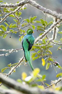 Resplendent Quetzal perched,birds,aves,vertebrates,quetzals,tropical,colourful,trogons,trogonidae,trogoniformes,Trogons,Trogoniformes,Aves,Birds,Chordates,Chordata,Trogonidae,Flying,Sub-tropical,mocinno,Near Threatened,T