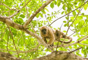 Brown howler monkey in tree climbing,primate,low angle,new world monkeys,monkeys,vertebrate,mammals,Alouttidae,Atelidae,biodiversity hotspot,in tree,Primates,Appendix II,guariba,Least Concern,South America,Forest,Mammalia,Alouat