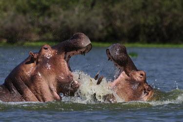 Hippopotamus fighting fighting,conflict,hippo,action,behaviour,splash,mammals,mammalia,vertebrate,water,aggression,jaws,Ungulates,even-toed ungulates,freshwater,gape,wallow,rival,rivalry,Hippopotamidae,Hippopotamuses,Mamma
