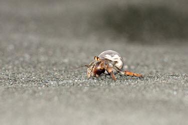 Hermit crab crab,beach,shoreline,shore,arthropods,arthropoda,crabs,decapoda,paguridae,crustacean,crustacea