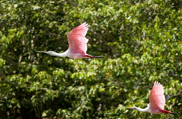 Roseate spoonbill in flight flying,flight,in flight,wings,birds,aves,behaviour,action,spoonbills,water,vertebrate,threskiornithidae,ciconiiformes,Threskiornithidae,Ibises, Spoonbills,Aves,Birds,Ciconiiformes,Herons Ibises Storks