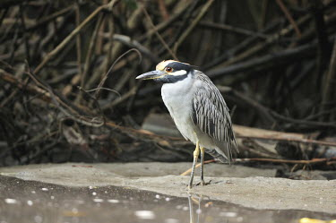 Yellow-crowned night heron at water's edge Birds,aves,vertebrate,Ardeidae,herons,standing,Aves,Chordates,Chordata,Ciconiiformes,Herons Ibises Storks and Vultures,Herons, Bitterns,Forest,South America,Carnivorous,Sub-tropical,Nyctanassa,Aquatic