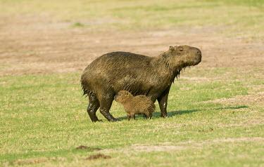 Capybara with young young,infant,mother,parent,rodent,rodentia,caviidae,pantanal wetlands,babies,baby,family,female,juvenile,mammal,mammalia,vertebrate,Chordates,Chordata,Guinea Pig, Wild Cavies, and the Capybara,,Caviid