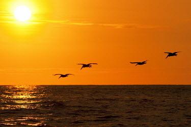Group of pelicans flying over ocean at sunset sunset,group,flock,pelicans,pelecanidae,pelecaniformes,aves,birds,vertebrates,flying,in flight,movement,ocean,sea,orange