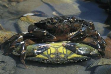 Common shore crabs mating Aquatic,Animalia,Coastal,Carnivorous,Carcinus,Arthropoda,Decapoda,Common,Europe,Estuary,Crustacea,Portunidae,Shore,Terrestrial