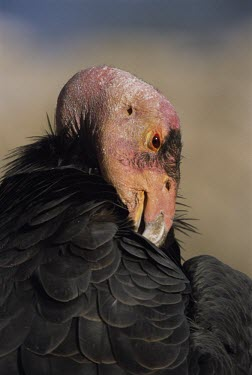 California condor preening Preening,Self-preening,Feather care,Aves,Birds,Chordates,Chordata,Ciconiiformes,Herons Ibises Storks and Vultures,Storks,Ciconiidae,Coniferous,Mountains,Appendix I,Scrub,Cathartidae,Animalia,Saprophyt