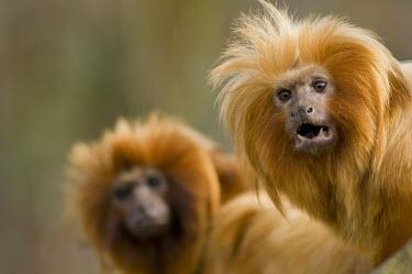 Golden lion tamarin portrait Adult,Chordates,Chordata,Primates,Mammalia,Mammals,Cebidae,Marmosets, Tamarins, Capuchin Monkeys And Squirrel Monkeys,Appendix I,Endangered,Callitrichidae,Sub-tropical,South America,Aquatic,Omnivorous