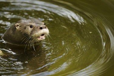 Close up of a neotropical otter Adult,Weasels, Badgers and Otters,Mustelidae,Carnivores,Carnivora,Chordates,Chordata,Mammalia,Mammals,longicaudis,Terrestrial,Appendix I,South America,Carnivorous,Coastal,Data Deficient,Wetlands,Aquat