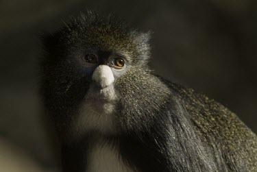 Bioko putty-nosed guenon portrait Adult,Arboreal,Omnivorous,Africa,Primates,Tropical,Chordata,Least Concern,Cercopithecidae,Animalia,Mammalia,Cercopithecus,nictitans,Appendix II,IUCN Red List