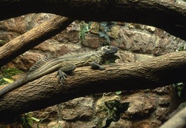 Sail-fin lizard on branch Adult,pustulatus,Arboreal,Aquatic,Terrestrial,Reptilia,Chordata,Animalia,Omnivorous,Rainforest,Agamidae,Hydrosaurus,Data Deficient,Squamata,Asia,Streams and rivers,IUCN Red List,Vulnerable