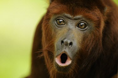 Captive Colombian red howler monkey howling What does it sound like ?,Territorial calls,Adult,Alouatta seniculus,Colombian red howler monkey,Primates,Mammalia,Mammals,Chordates,Chordata,Colombian red howling monkey,Coto Mono,Mono Cotudo,Mono Co