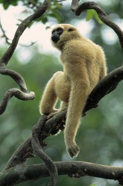 Agile gibbon sat on a branch Tropical,Forests,Species in habitat shot,Habitat,Adult,Chordates,Chordata,Primates,Hylobatidae,Gibbons,Mammalia,Mammals,Asia,Hylobates,agilis,Herbivorous,Animalia,Arboreal,Appendix I,Omnivorous,Rainfo
