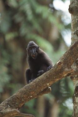 Juvenile crested black macaque Juvenile,Mammalia,Mammals,Chordates,Chordata,Primates,Old World Monkeys,Cercopithecidae,Omnivorous,Asia,Appendix II,Tropical,Arboreal,Macaca,Endangered,Terrestrial,nigra,Animalia,IUCN Red List,Critica