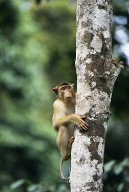 Sunda pig-tailed macaque Climbing,Locomotion,Mammalia,Mammals,Chordates,Chordata,Old World Monkeys,Cercopithecidae,Primates,Animalia,Vulnerable,Asia,Terrestrial,Omnivorous,nemestrina,Macaca,Rainforest,IUCN Red List