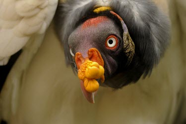 King vulture portrait Adult,Chordates,Chordata,Storks,Ciconiidae,Ciconiiformes,Herons Ibises Storks and Vultures,Aves,Birds,Falconiformes,Tropical,Sarcoramphus,Cathartidae,Flying,Least Concern,Carnivorous,papa,South Americ