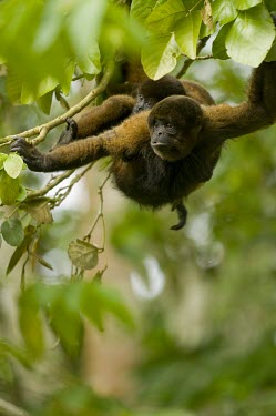 Poeppig's woolly monkey with young on back, captive Adult,Infant,Animalia,poeppigii,Arboreal,Sub-tropical,Primates,Lagothrix,Near Threatened,Mammalia,Chordata,Atelidae,South America,Herbivorous,Rainforest,IUCN Red List,Vulnerable