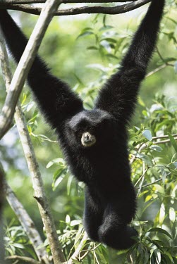 Siamang hanging from branch with both arms Adult,Chordates,Chordata,Hylobatidae,Gibbons,Mammalia,Mammals,Primates,syndactylus,Terrestrial,Omnivorous,Appendix I,Asia,Symphalangus,Animalia,Endangered,Tropical,IUCN Red List