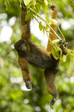 Poeppig's woolly monkey hanging from arms and tail, captive Adult,Animalia,poeppigii,Arboreal,Sub-tropical,Primates,Lagothrix,Near Threatened,Mammalia,Chordata,Atelidae,South America,Herbivorous,Rainforest,IUCN Red List,Vulnerable