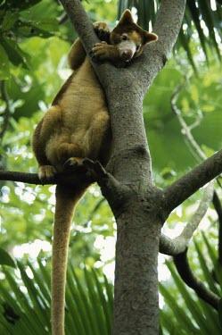 Huon tree kangaroo sitting in tree Adult,Diprotodontia,Kangaroos, Wallabies,Chordates,Chordata,Kangaroos and Wallabies,Macropodidae,Mammalia,Mammals,Terrestrial,matschiei,Animalia,Dendrolagus,Endangered,Australia,Tropical,Sub-tropical,