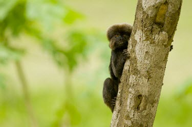 Goeldi's monkey on branch Adult,Cebidae,Marmosets, Tamarins, Capuchin Monkeys And Squirrel Monkeys,Chordates,Chordata,Mammalia,Mammals,Primates,Animalia,Near Threatened,Appendix I,Omnivorous,Callitrichidae,South America,Arbore