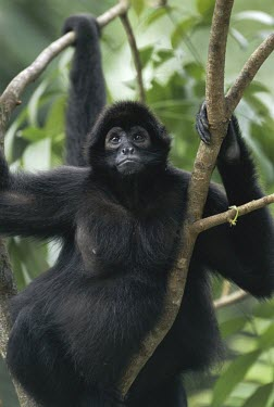 Brown-headed spider monkey in a tree Locomotion,Climbing,Habitat,Species in habitat shot,Adult,Ateles,Mammalia,Chordata,Terrestrial,Arboreal,Primates,Omnivorous,South America,Rainforest,Critically Endangered,Animalia,Atelidae,IUCN Red Li