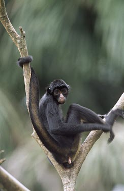 Peruvian spider monkey demonstrating use of prehensile tail Adult,Animalia,Omnivorous,chamek,Endangered,Primates,South America,Arboreal,Rainforest,Mammalia,Atelidae,Appendix II,Ateles,Sub-tropical,Chordata,IUCN Red List
