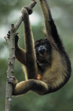 Black howler monkey male hanging from branch, showing prehensile tail Adult Male,Adult,Primates,South America,Least Concern,Atelidae,IUCN Red List,Appendix II,CITES,Terrestrial,Forest,Herbivorous,Mammalia,Alouatta,Chordata,Tropical,Animalia
