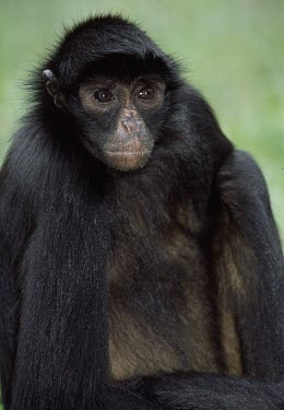Peruvian spider monkey close up Adult,Animalia,Omnivorous,chamek,Endangered,Primates,South America,Arboreal,Rainforest,Mammalia,Atelidae,Appendix II,Ateles,Sub-tropical,Chordata,IUCN Red List