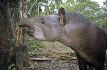 Side view of a lowland tapir's head Adult,Chordates,Chordata,Perissodactyla,Odd-toed Ungulates,Mammalia,Mammals,Tapirs,Tapiridae,Rainforest,Tapirus,Appendix II,Streams and rivers,terrestris,Animalia,Herbivorous,South America,Terrestrial