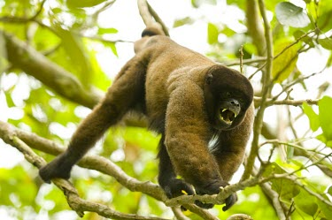 Male Poeppig's woolly monkey, aggressive display, captive Adult Male,Defence behaviours,Adult,Survival Adaptations,Animalia,poeppigii,Arboreal,Sub-tropical,Primates,Lagothrix,Near Threatened,Mammalia,Chordata,Atelidae,South America,Herbivorous,Rainforest,IUC