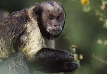 Yellow-breasted capuchin Adult,Primates,Chordates,Chordata,Mammalia,Mammals,Cebidae,Marmosets, Tamarins, Capuchin Monkeys And Squirrel Monkeys,Critically Endangered,South America,Animalia,Omnivorous,Rainforest,Cebus,Arboreal,