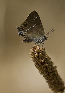 Blue Spot Hairstreak Blue Spot Hairstreak,Satyrium spini,Spanish Pyrenees,Insect,Insecta,Butterfly,Lepidoptera,Lycaenidae,Perched,Adult,Invertebrate,Wings,Europe,Spain,Wild