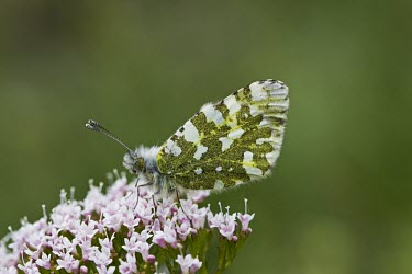 Female Orange Tip Orange Tip,Anthocharis cardamines,Valerian,French Alps,Insecta,Insect,Butterfly,Lepidoptera,Invertebrate,Pieridae,Perched,Female,Close Up,Europe,France,Wild,Anthocharis,Urban,Agricultural,Flying,Anima