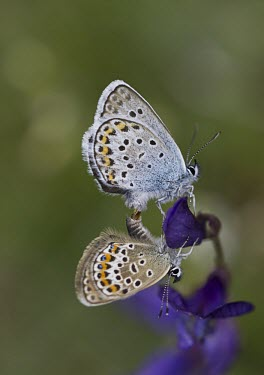 Silver Studded Blues Silver Studded Blue,Plebejus argus,mating,French Alps,False Sainfoin,Vicia onobrychioides,Insecta,Insect,Invertebrate,Lepidoptera,Butterfly,purple,wings,pattern,Lycaenidae,Europe,France,Wild,Arthropod