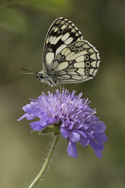 Marbled White on Field Scabious Griffon Vulture,Spain,Europe,Spanish Pyrenees,Gyps fulvus,Aves,Birds,Vulture,Accipitridae,Least Concern,Head,eyes,Beak,tongue,close up,profile,side view,portrait,United Kingdom,Britain,British Species