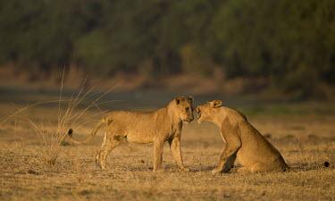 Juvenile african lions playing Africa,lion,big cat,carnivores,carnivora,cat,desert,endangered,leo,Mammals,Mammalia,Panthera,Terrestrial,vertebrate,Vulnerable,walking,juvenile,young,playing,Animal Behaviour,play fighting,playful,Two