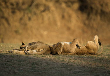 Two juvenile African lions lying down Africa,lion,big cat,carnivores,carnivora,cat,desert,endangered,leo,Mammals,Panthera,resting,Terrestrial,vertebreate,Vulnerable,lying,sun,playing,playful,cute,Wild,Cats,Felidae,Felid,relaxing,two,sleep