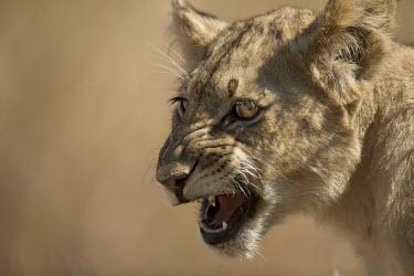 Juvenile African lion showing teeth close up Africa,lion,African lion,Animalia,Carnivora,Carnivores,Carnivorous,Cats,Chordates,Desert,Felidae,felid,big cats,growl,growling,Teeth,Close up,Head,Face,Mammals,Mammalia,Panthera,Panthera leo,Wild,Vuln