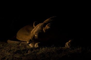 African lion sleeping at night Africa,lion,big cat,night,African lion,Carnivora,Carnivores,Cats,Chordates,Chordata,Leo,Wild,Vulnerable,Mammals,Felidae,felid,sleeping,resting,lying down,relaxing,asleep,nightime,dark,vertebrate,Mamma
