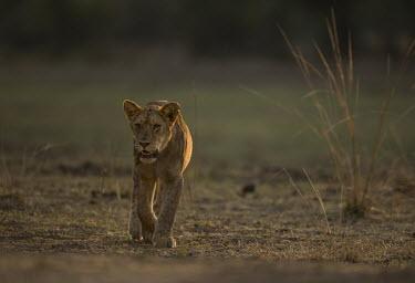 African lion walking Africa,lion,big cat,carnivores,carnivora,cat,desert,endangered,leo,Mammals,mammalia,Panthera,Terrestrial,vertebrate,Vulnerable,felid,felidae,savannah,savanna,female,walking,Felidae,Cats,Mammalia,Carni